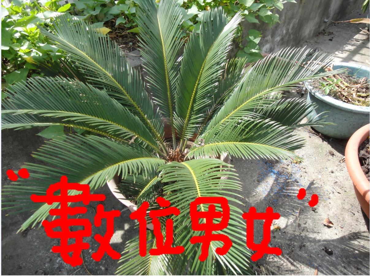植物名種:香椿,英文名為Chinese mahogany,別名椿、紅椿、椿甜樹等。 拍攝日期:2011/06/11 種植感想:它也很好種植,大約種植5~6年了!不過它生長還蠻快速的,像圖片中,一個是盆栽裡種植,另一個是在花圃裡種植,它生長大小差很多,一個有很多的養分,一個是沒養分,又限制住它的生長空間,所以大小差很多!